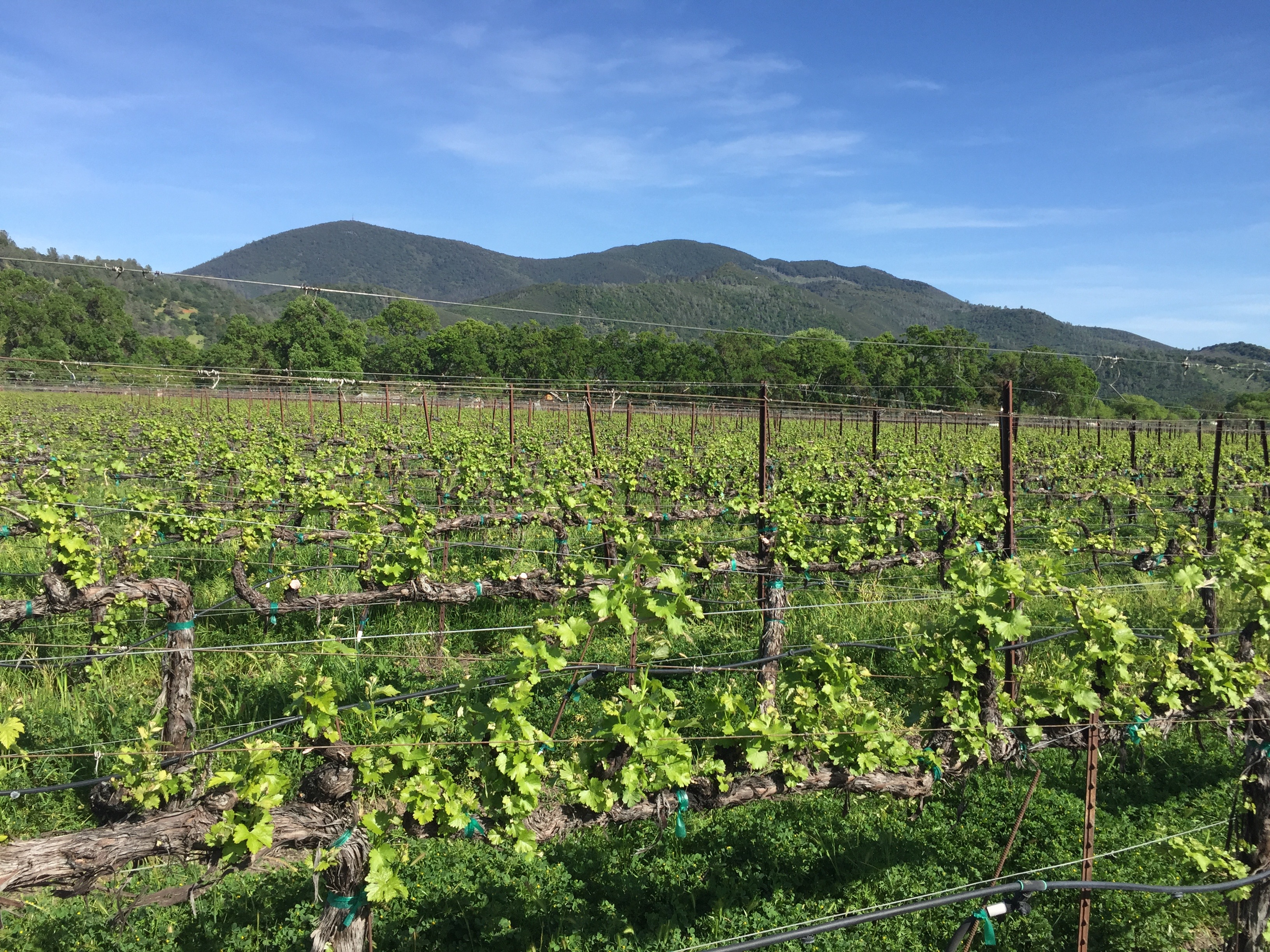 Vineyard w/ Mt. Konocti